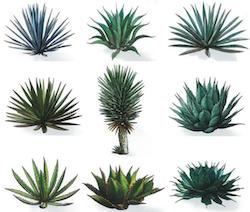 agave types.jpg