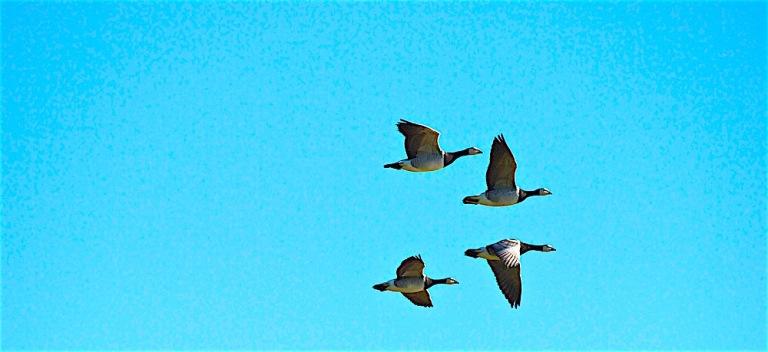 Barnacle geese at Loch Gruinard, Islay