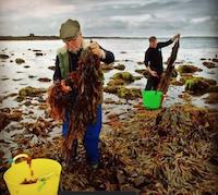 Seaweed harvesters
