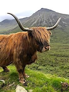 Highland cow.jpeg